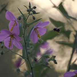 Rachel Morrison - A Bee