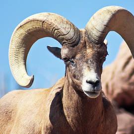 A Bighorn Sheep Ram Portrait, Ovis canadensis by Derrick Neill