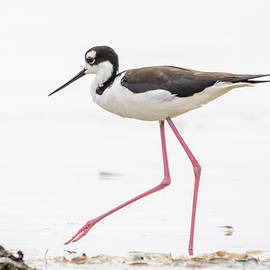 Bruce Frye - A Black-necked Stilt
