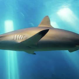 A Blacktip Shark Close Up, Maui, Hawaii by Derrick Neill
