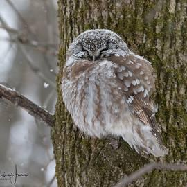 A boreal owl under snow by Charlaine Jean