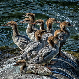 A Bouquet of Mergansers by Belinda Greb
