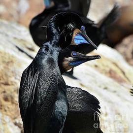 A Brandt's Cormorant Courtship by Susan Wiedmann