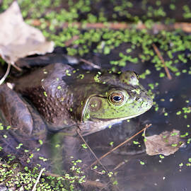 A Bullfrog in Shallow Water at the Edge of a Pond by Derrick Neill