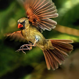 A Cardinal Approaches by Kay Brewer
