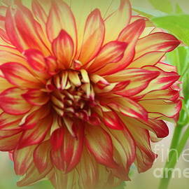 Dora Sofia Caputo Photographic Design and Fine Art - A Dahlia In The Autumn Garden