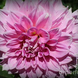 Dora Sofia Caputo Photographic Design and Fine Art - A Dahlia In The Garden