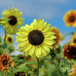 A Day With Sunflowers by Rachel Cohen