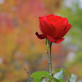 A Fall Rose by Chris Christensen