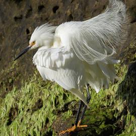 A Fluffy Egret  by Bruce Frye