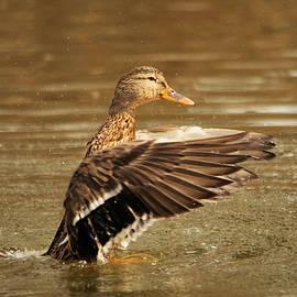 Jeff Swan - A frisky Duck