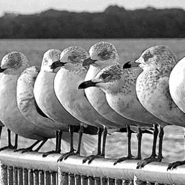A Gathering Of Gulls BW  by HH Photography of Florida