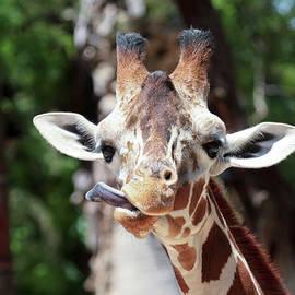 A Giraffe Sticks Out its Long Tongue by Derrick Neill