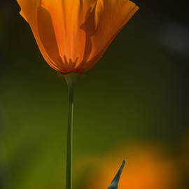 Saija Lehtonen - A Golden Poppy