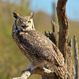 A Great Horned Owl on an Old Snag by Derrick Neill