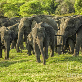 A herd of Asian elephants by Patricia Hofmeester