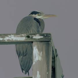 A Heron On Watch  by Jeff Swan