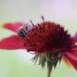 A Honey Bee on a Blanket Flower by Derrick Neill