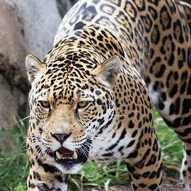 A Jaguar Stalking Its Prey in the Wild by Derrick Neill