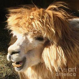 Carol F Austin - A Blond Llama