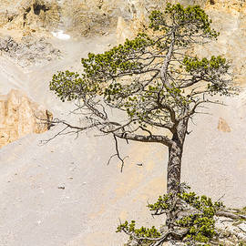 A lonely pine - 1 by Paul MAURICE