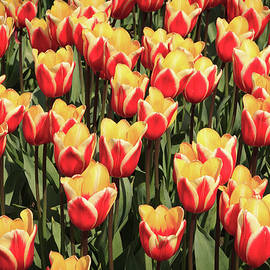 Tim Abeln - A lot of red and yellow tulips