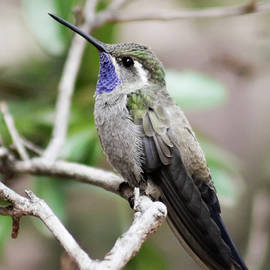 A Male Blue-throated Hummingbird on a Branch by Derrick Neill