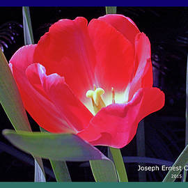 Joseph Coulombe - A  March Event - Tulips