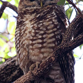 A Mexican Spotted Owl on its Roost by Derrick Neill