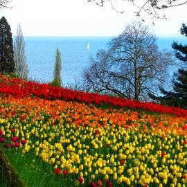 A Million Tulip Walk On Mainau Island
