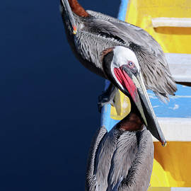 A Pair of Brown Pelicans on a Blue and Yellow Rowboat by Derrick Neill