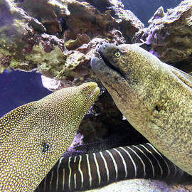 A Pair of Moray Eels on a Reef, Maui, Hawaii by Derrick Neill