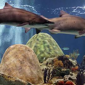 A Pair of Sand Tiger Sharks, OdySea Aquarium by Derrick Neill