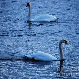 A Pair Of Mute Swans At Dawn In Bray, Ireland  # 2 by Poet's Eye