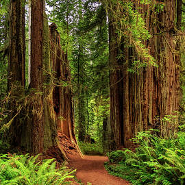 A Path Through The Redwoods by James Eddy
