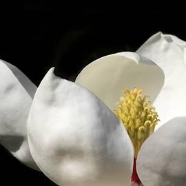 A Peek Inside A Magnolia by Sabrina L Ryan