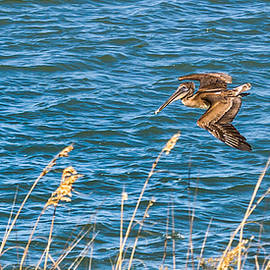 A Pelican Glides By by Ed Gleichman
