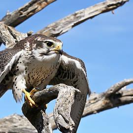 A Prairie Falcon Against a Blue Sky by Derrick Neill