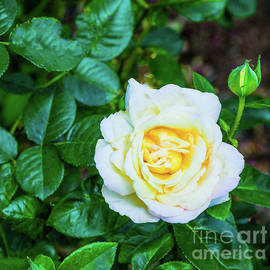 Tom Horsch Photography - A Rose And A bud