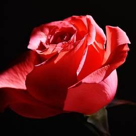 Eileen Brymer - A Rose