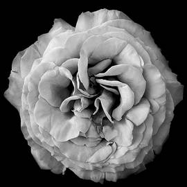 Gianluigi Bonfiglio - A rose