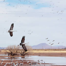 Sandhill Cranes, Whitewater Draw Wildlife Area, AZ, USA by Derrick Neill