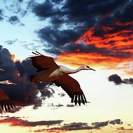 A Sandhill Crane Trio Flies at Sunset by Derrick Neill