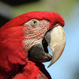A Scarlet Macaw by Derrick Neill