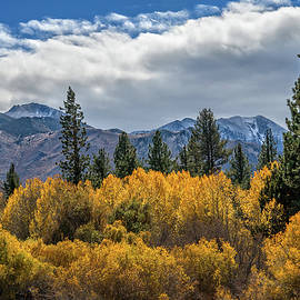 Lynn Bauer - A Sea of Golden Aspens