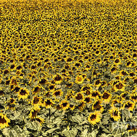 A sea of sunflowers by Jeff Swan
