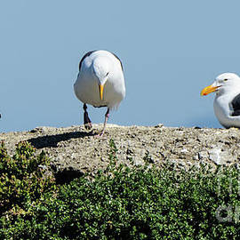 A Seagull Chick With Mom and Dad by Susan Wiedmann