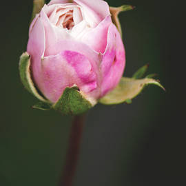 A Single Rose by Tania Read
