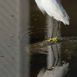 Bruce Frye - A Snowy Egret with Reflections