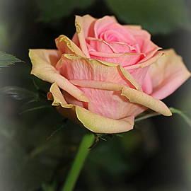 A Solitary Rose by Dora Sofia Caputo